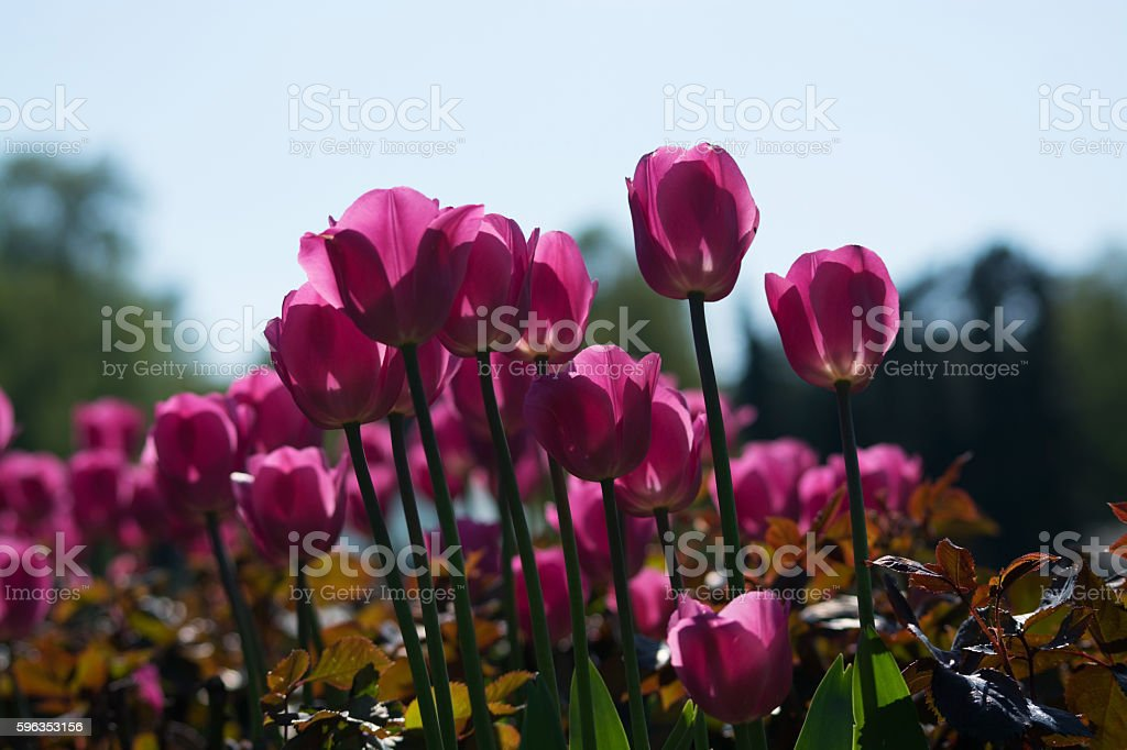 Tulip Blossom in the Netherlands royalty-free stock photo