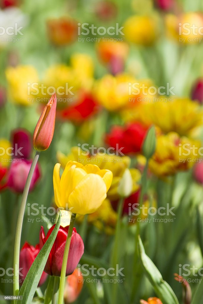 tulip blossoms and wildflower meadow spring royalty-free stock photo