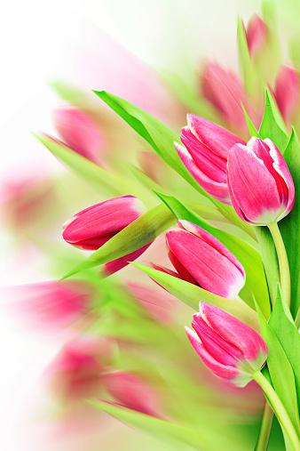 Tulip Border Design Stock Photo - Download Image Now - iStock