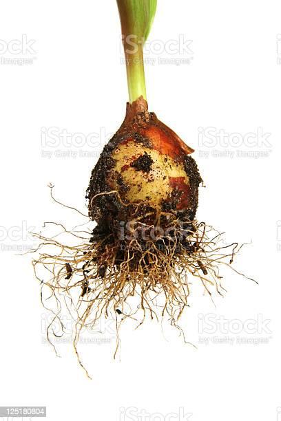 Tulip bulb picture id125180804?b=1&k=6&m=125180804&s=612x612&h=zyn1etdo109lzia6uwpid xnusrzmerdqdbvregkzki=