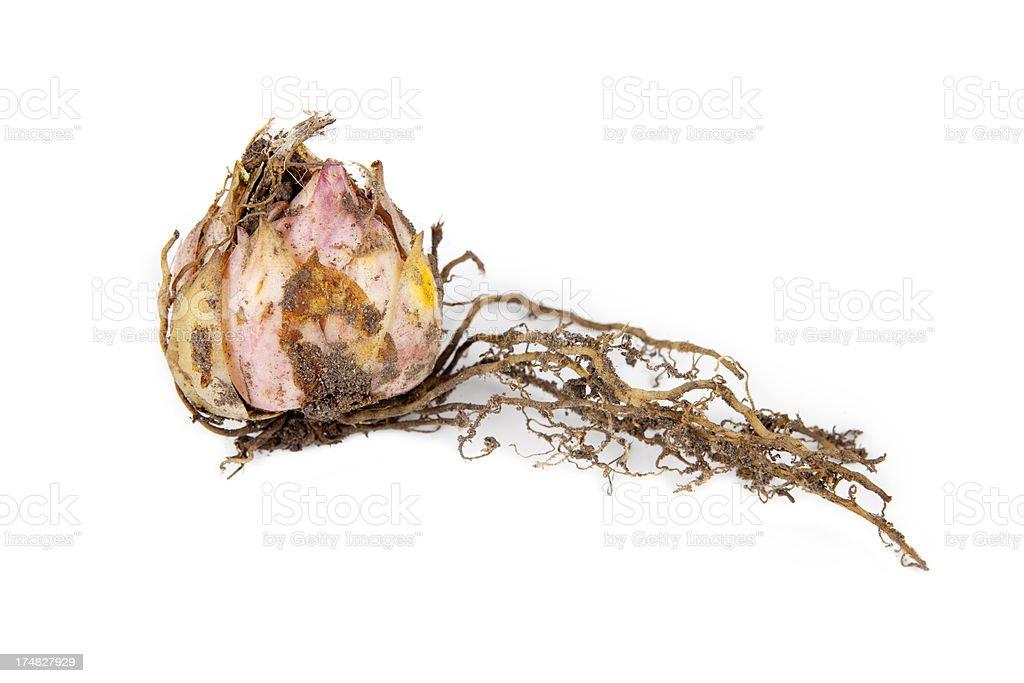 Tulip Bulb XXXL royalty-free stock photo