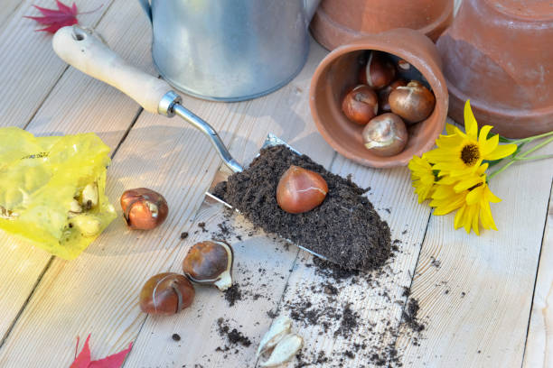 tulip bulbs for plantation tulip bulb put on a trowel full of soil on a garden table with gardening equipment plant bulb stock pictures, royalty-free photos & images