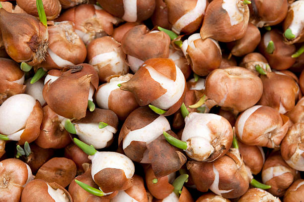 Tulip Bulbs for Sale Amsterdam Market Tulip Bulbs for Sale Amsterdam Market plant bulb stock pictures, royalty-free photos & images