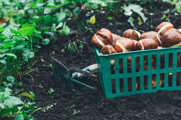Tulip bulbs stored in the boxes with shovel on it and carried out for planting cleaned and prepared flower bulbs , agriculture and gardening concept plant bulb stock pictures, royalty-free photos & images