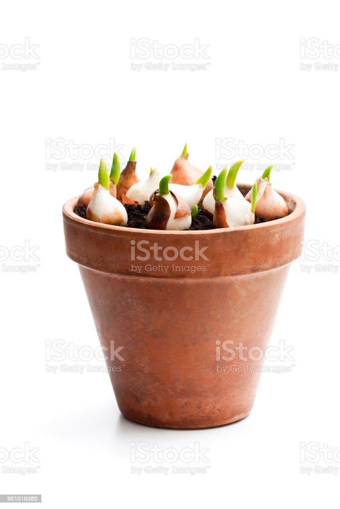 Tulip  bulbs with sprouts in clay plant pot isolated on white stock photo