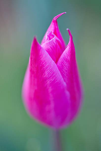 Tulip 'Burgundy' stock photo