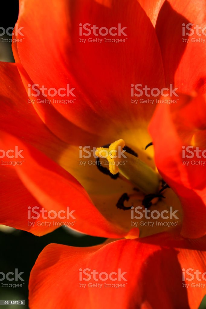Tulip close up royalty-free stock photo