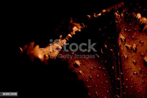istock Tulip close-up, in the rain 90692658