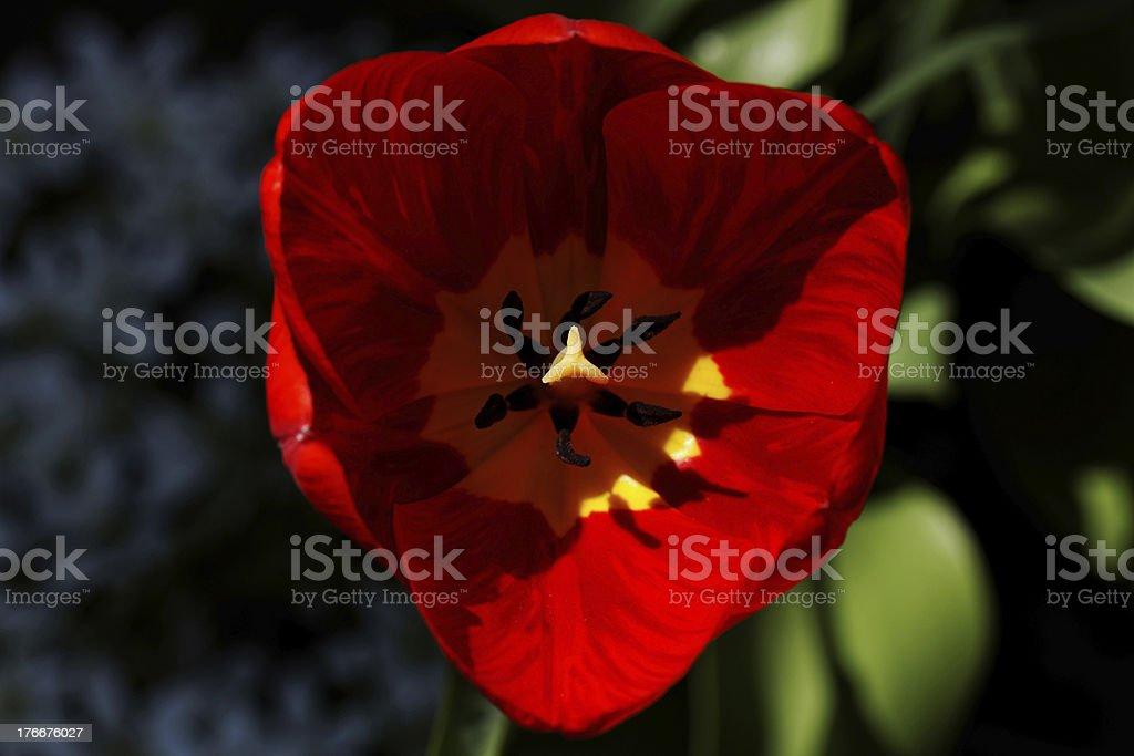 Tulipán primer plano foto de stock libre de derechos