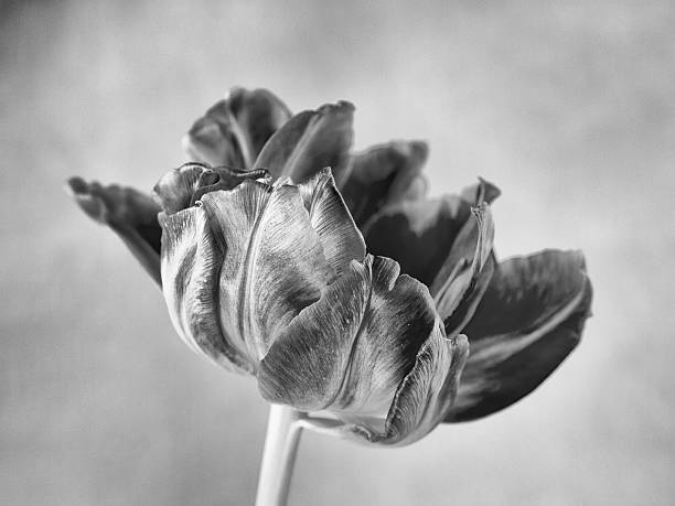 tulip close-up stock photo