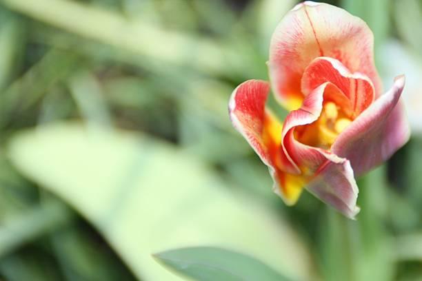 Tulpe, Nahaufnahme – Foto