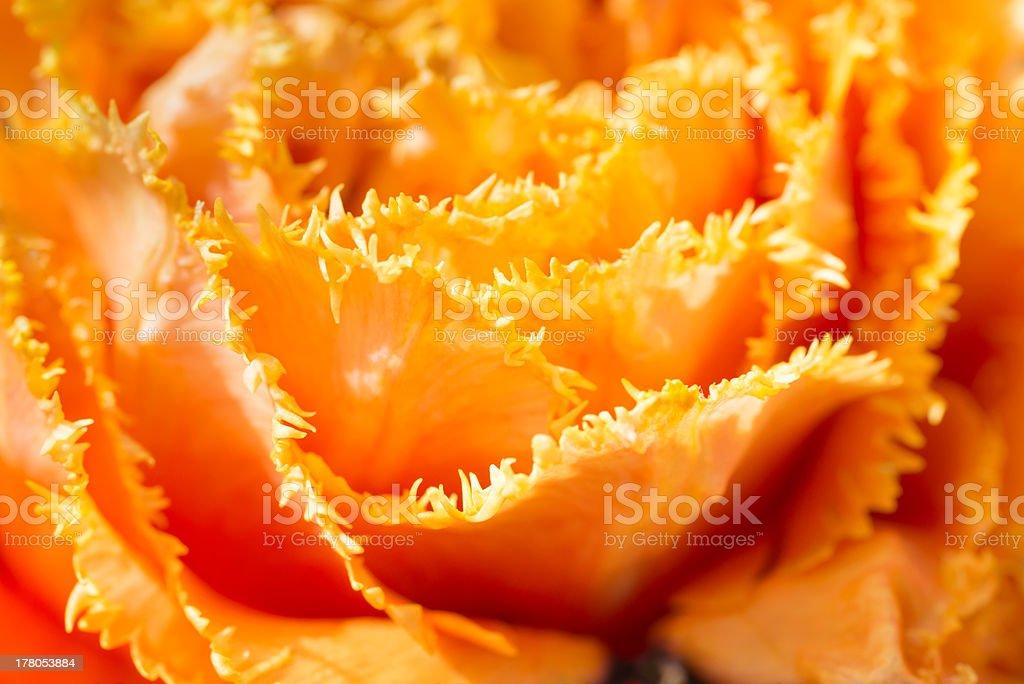 Tulip close-up shot royalty-free stock photo