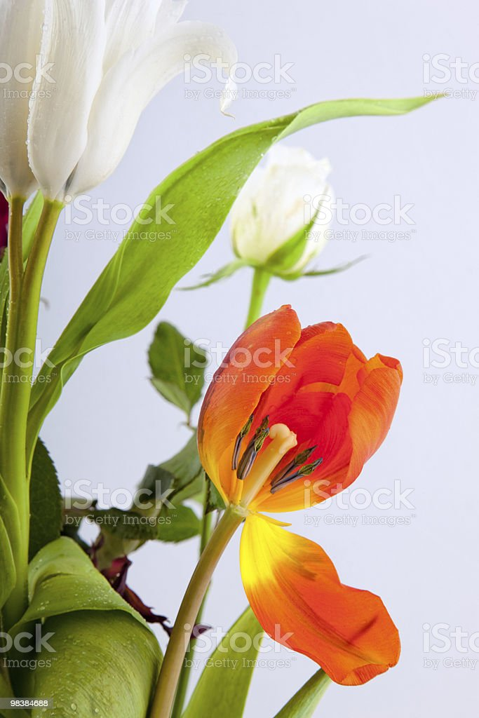 Tulip cross-section royalty-free stock photo