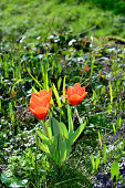 Tulip Early Harvest flowers
