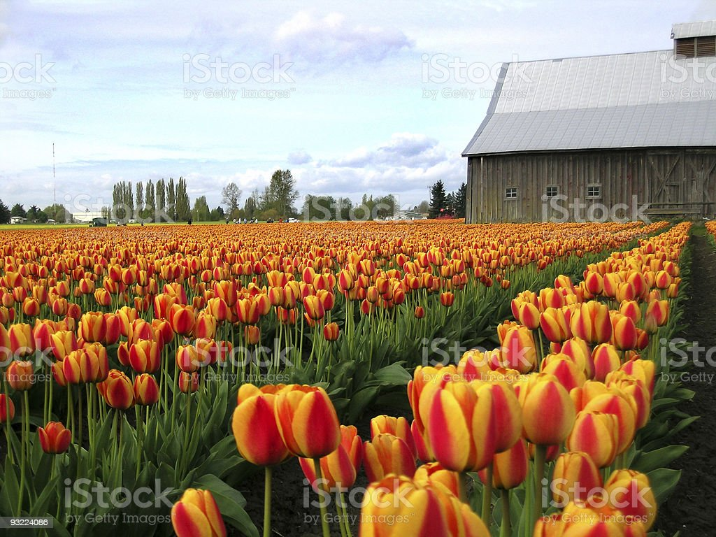 Tulip farm with red and yellow tulips royalty-free stock photo