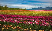 istock Tulip festival - field of flowers 1248763140