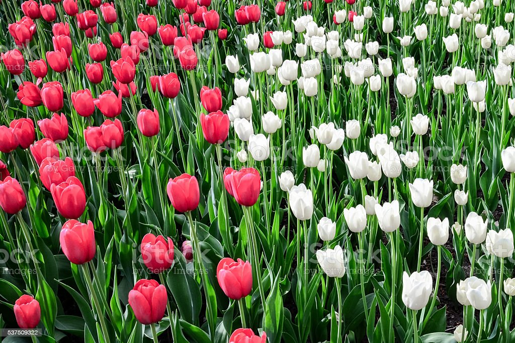 Tulip festival in Ottawa Canada stock photo