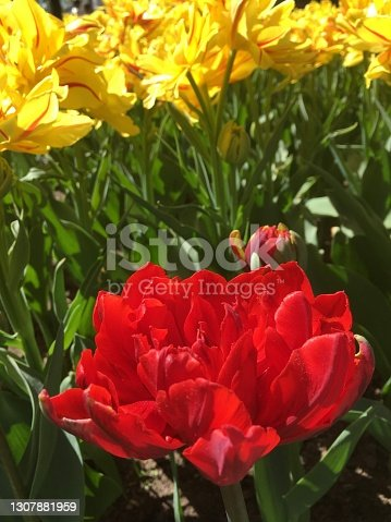 Tulip Festival in the Central Park of Culture and Rest on Elagin Island in St. Petersburg