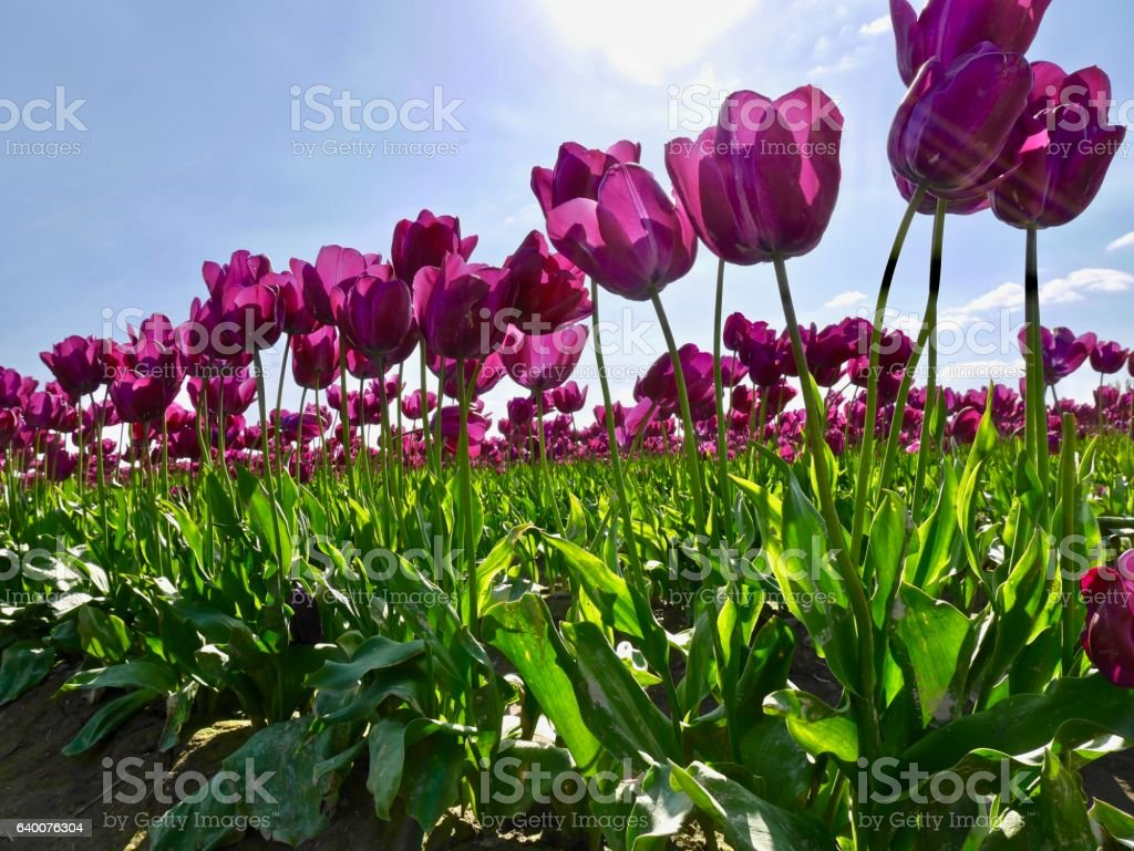 Tulip festival. stock photo