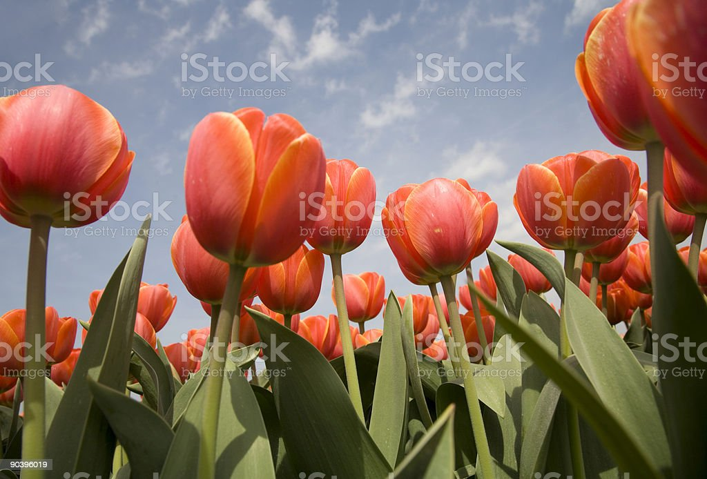 Tulip field 16 stock photo