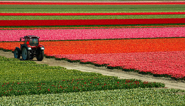 Tulip field and truck.​​​ foto
