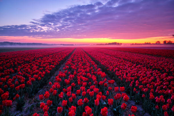 Tulip field during sunrise stock photo