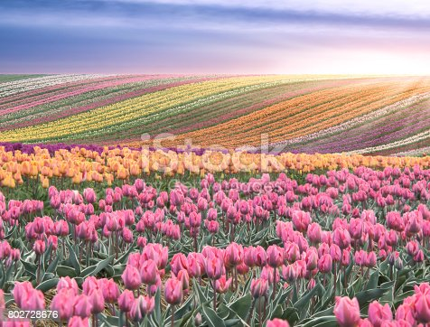 Beautiful spring scene. Rolling hills covered with tulips in a wonderful golden hour light.