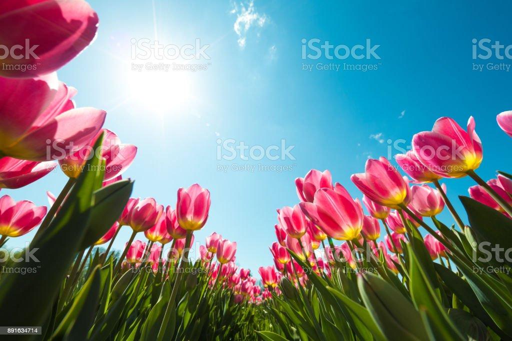 Tulip Field From Below