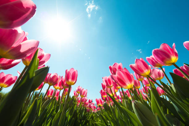 tulip field from below - spring stock pictures, royalty-free photos & images