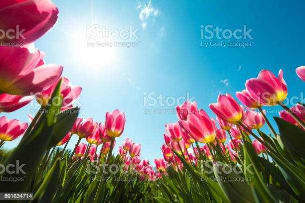 Beautiful pink tulips from below.