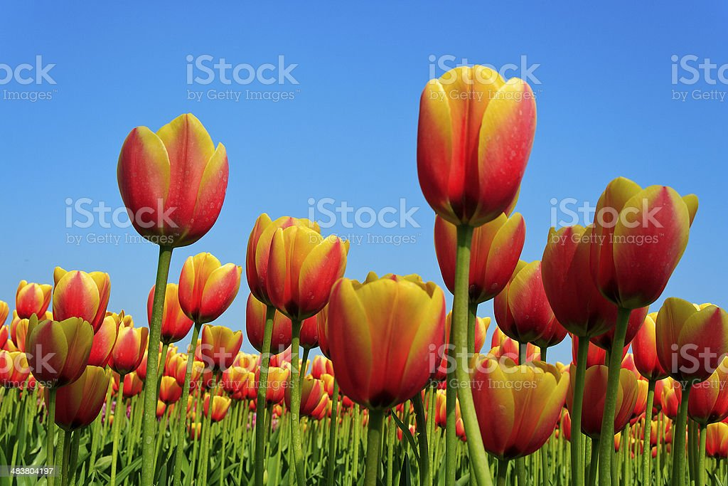 Tulip field in The Netherlands during spring stock photo