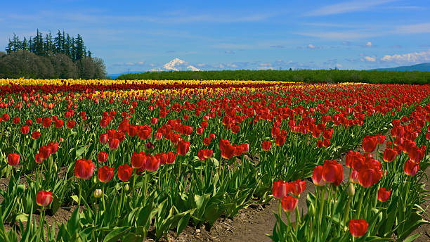 Tulip Field Mt Hood Wide Format Wooden Shoe Tulip Farm stock photo