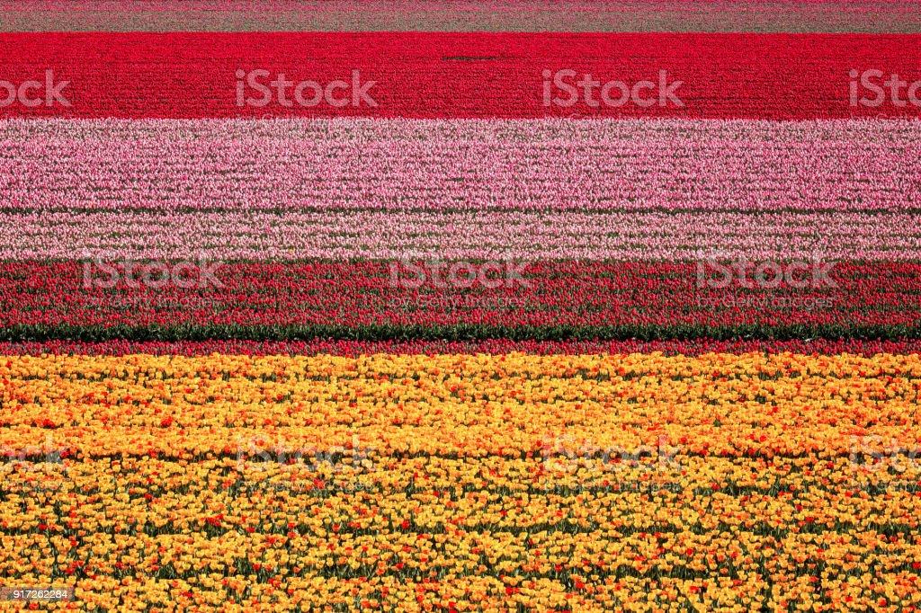 Tulpen Feld Natur abstrakten Hintergrund, Luftaufnahme, Niederlande – Foto