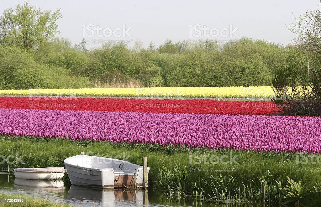 Tulip field on canal royalty-free stock photo