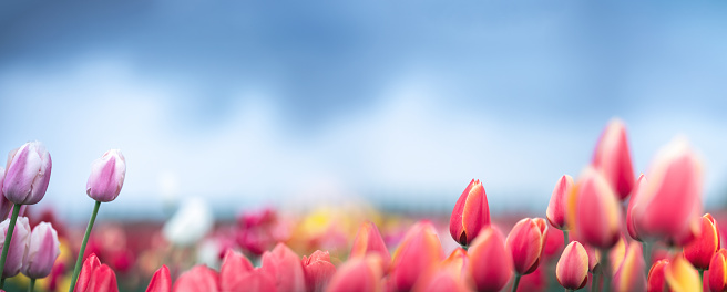 Colorful tulips in the garden. Panoramic view.