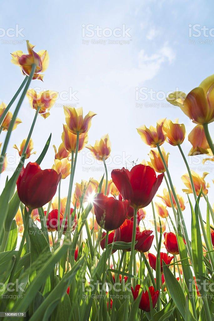 Tulip field royalty-free stock photo