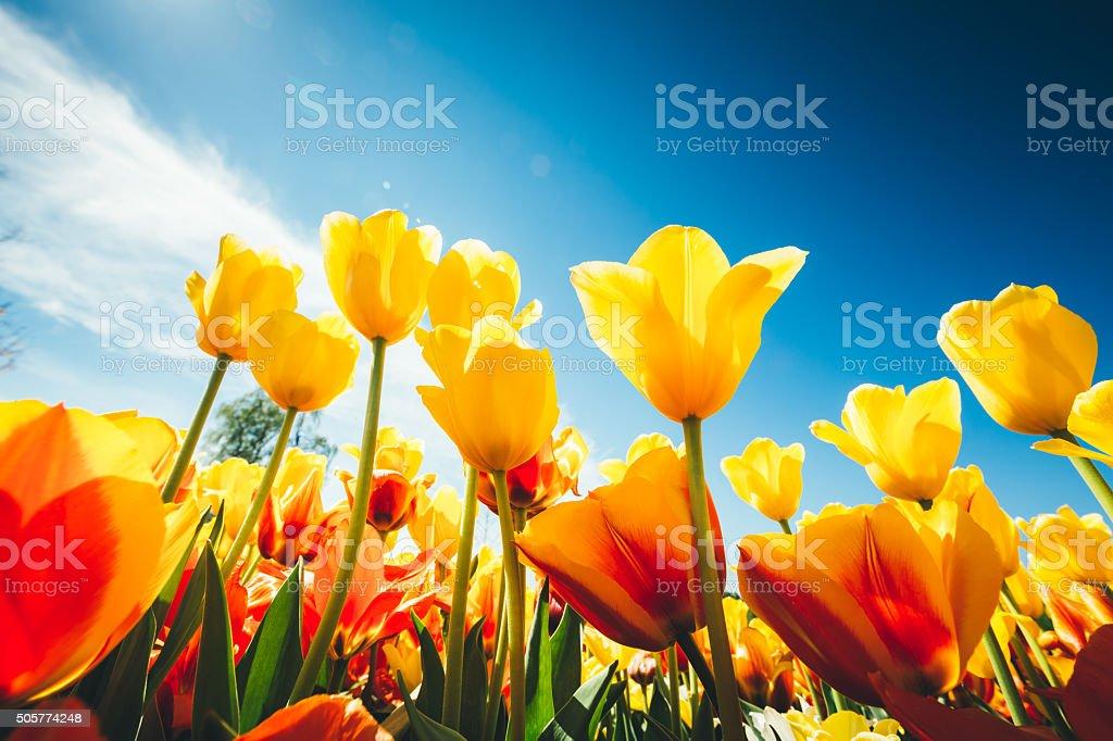 Tulipe Field de - Photo