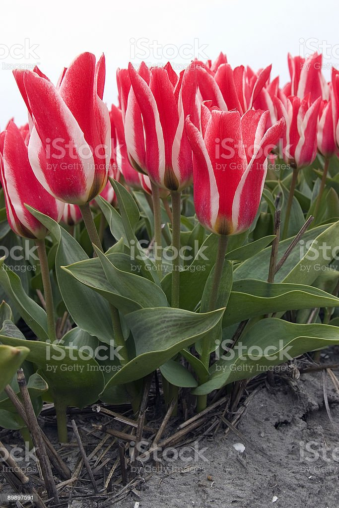 Tulip field (The Netherlands) royalty-free stock photo