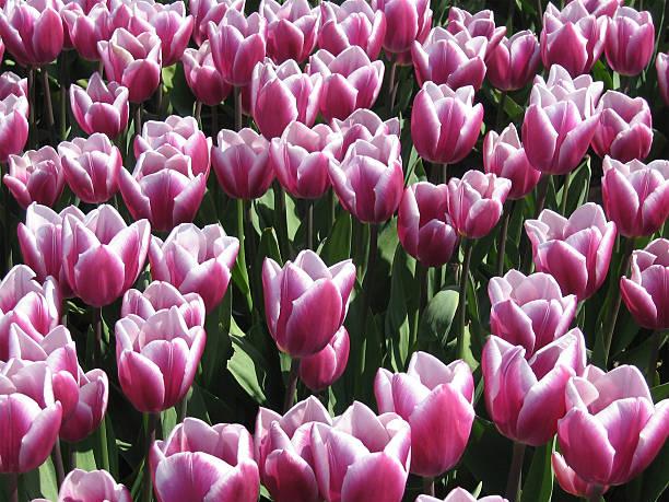 tulip field - fsachs78 stockfoto's en -beelden