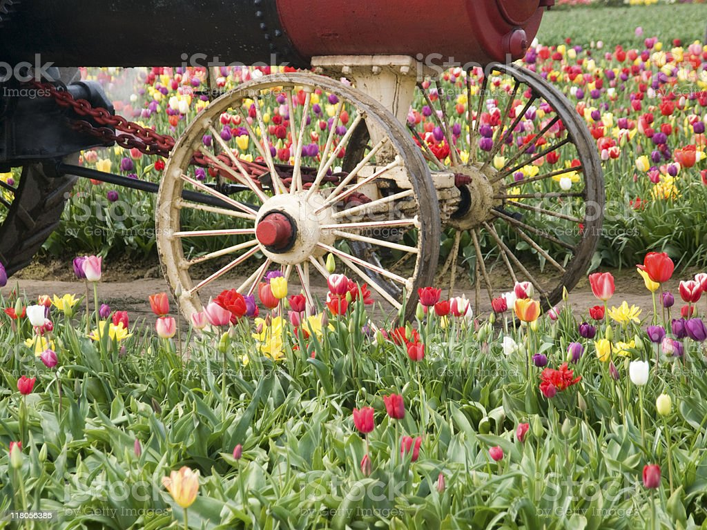 Tulip field with front of steam powered tractor royalty-free stock photo
