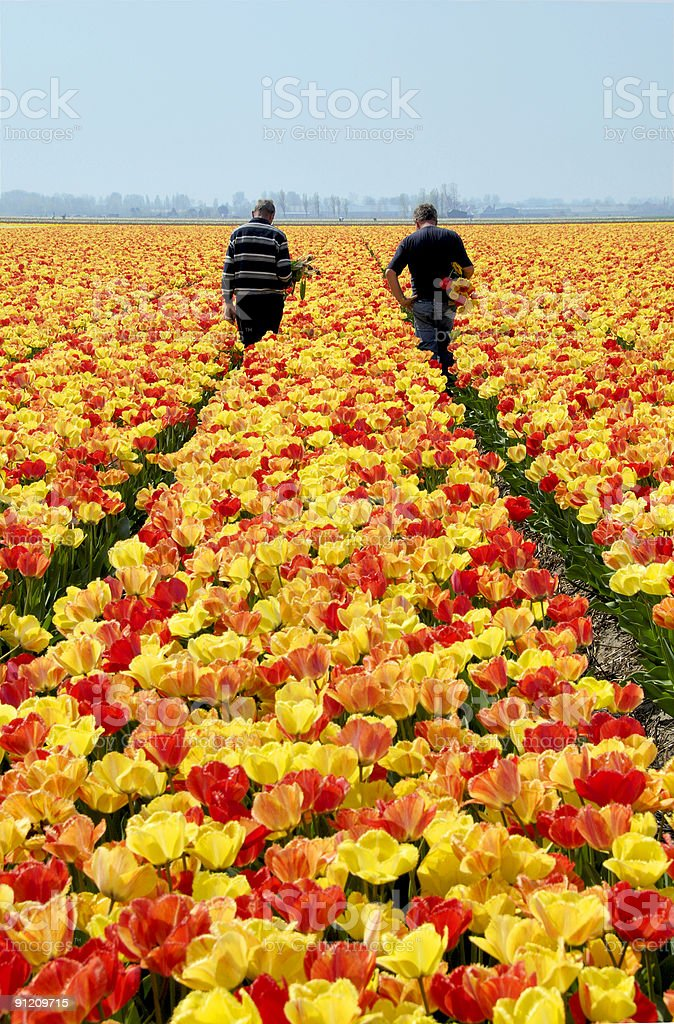 tulip field with men checking the tulips royalty-free stock photo
