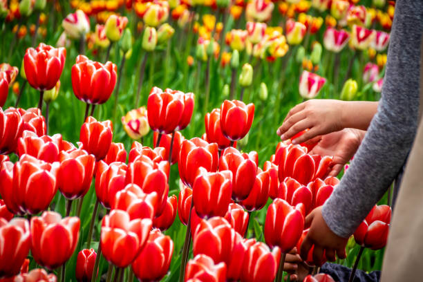 Tulip fields blooming at springtime stock photo