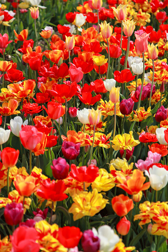 Close up of tulip field in a colorful flower field in Neatherlands (Holland).