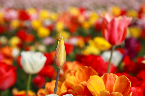 Close up of a closed tulip in a colorful flower field in Neatherlands (Holland).