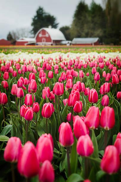 Tulip Fields in the Skagit Valley. stock photo