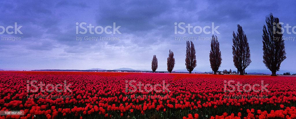 Tulip Fields in the spring 2 stock photo