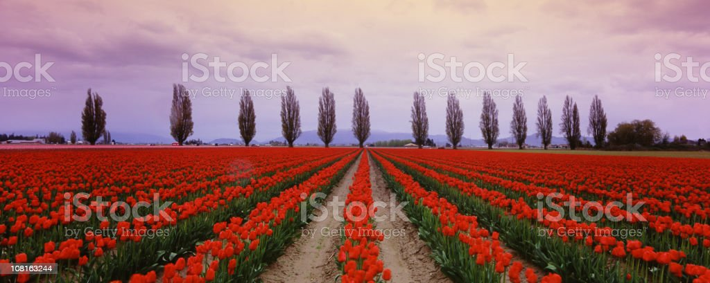 Tulip Fields in the spring 3 stock photo