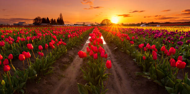Tulip Fields in Woodburn, OR - foto stock