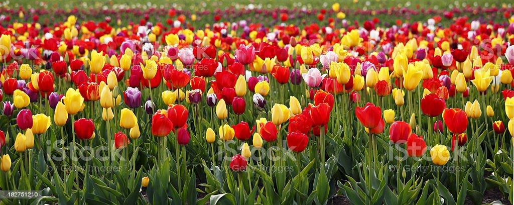 Tulip Fields. royalty-free stock photo