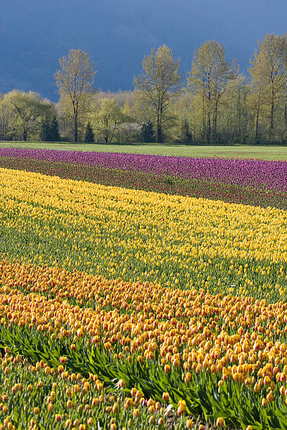 tulip fields - spring stock photos and pictures